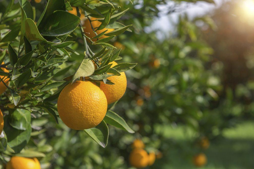 des oranges se gorgent de soleil
