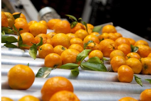 des oranges pour jus de fruits